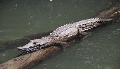 """<strong><span style=""""color:#FF0000;"""">9.&nbsp;Observeer de krokodillen tijdens een Black River Safari </span></strong><br /> Deze uitstap is ideaal wanneer je het wat rustiger aan wil doen. De Black River is een van de langste rivieren van Jamaica en de habitat van krokodillen, reigers en heel wat exotische vogels. Tijdens een ontspannen privéboottocht over deze rivier kun je de prachtige natuur in je opnemen en kijken naar de vissers op de oever en de dieren om je heen. Met een beetje geluk spot je de krokodillen die zich ook in deze rivier bevinden."""