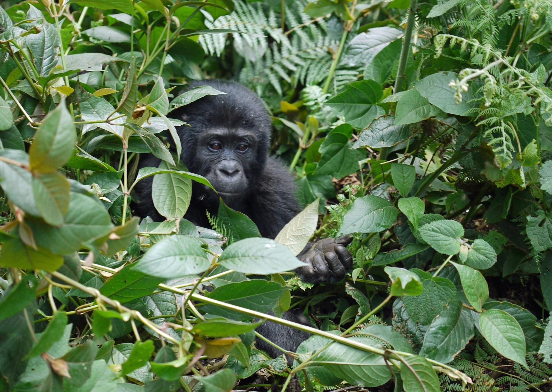 14-daagse rondreis Oeganda 'Kabaka Gorilla'