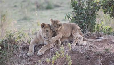 """<span style=""""color:#FF0000;""""><strong>Dit kun je winnen!</strong></span><br /> Ben jij de gelukkige winnaar van de safari? Dan nemen wij je mee naar de mooiste nationale parken van Kenia: spot olifanten in het Het Amboseli Nationaal Park, zwarte neushoorns in Lake Nakuru Nationaal Park en zebra's in het Masai Mara Wildreservaat. Maar ook leeuwen, giraffen, nijlpaarden en luipaarden voelen zich hier thuis. Deze reis is een ideale eerste safari-ervaring, die je eventueel nog kunt aanvullen met een verlenging aan de prachtige witte stranden van Mombasa."""